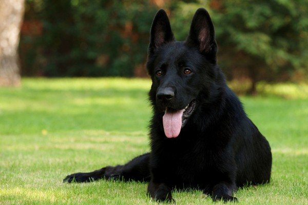 Animals___Dogs_German_Shepherd_black_084102_-600x400